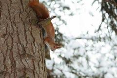 Ardilla roja linda que se sienta en tronco de árbol en bosque del invierno foto de archivo libre de regalías