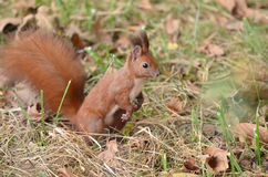 Ardilla roja que busca para las nueces en el bosque Fotografía de archivo