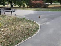 Ardilla roja que camina en el centro de una trayectoria del parque imagen de archivo