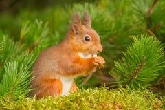 Ardilla roja que come en árbol de pino Imagenes de archivo