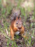 Ardilla roja que come la castaña de roble Fotografía de archivo libre de regalías