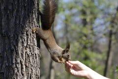 Ardilla roja que come la comida de la mano humana Foto de archivo