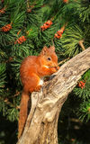 Ardilla roja que come una avellana Foto de archivo libre de regalías