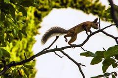 Ardilla roja que salta en una rama de árbol imagen de archivo