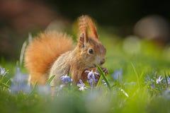 Ardilla roja que se sienta en flores de la primavera Fotos de archivo libres de regalías