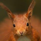 Ardilla roja (Sciurus vulgaris) Fotos de archivo libres de regalías