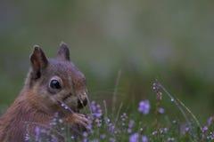 Ardilla roja, Sciurus vulgaris, ascendente cercano comiendo una nuez alrededor de brezo púrpura, floreciente en los cuarzos ahuma Fotos de archivo libres de regalías