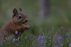 Ardilla roja, Sciurus vulgaris, ascendente cercano comiendo una nuez alrededor de brezo púrpura, floreciente en los cuarzos ahuma Imagen de archivo libre de regalías