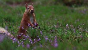 Ardilla roja, Sciurus vulgaris, ascendente cercano comiendo una nuez alrededor de brezo púrpura, floreciente en los cuarzos ahuma almacen de metraje de vídeo