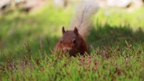 Ardilla roja, Sciurus vulgaris, buscando para y comiendo nueces en piso del brezo en un julio soleado en el cuarzo ahumado NP, Es almacen de metraje de vídeo