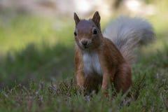Ardilla roja, Sciurus vulgaris, buscando para y comiendo nueces en un claro de la madera de pino durante una mañana soleada Carin Imagen de archivo