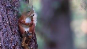 Ardilla roja, Sciurus vulgaris, descansando entre el follaje de un árbol de pino en una mañana soleada de julio en el cuarzo ahum almacen de metraje de vídeo