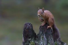 Ardilla roja, Sciurus vulgaris, presentando en un tocón viejo en los cuarzos ahumados NP de un bosque del pino, Escocia, augusta Fotos de archivo libres de regalías