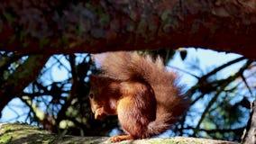 Ardilla roja, Sciurus vulgaris, reclinación, comiendo en una rama del pino con comportamiento amenazante almacen de metraje de vídeo
