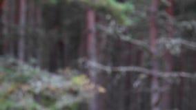 Ardilla roja, Sciurus vulgaris, saltando en mediados de aire encendido un día soleado de julio dentro de una madera de pino en el almacen de video