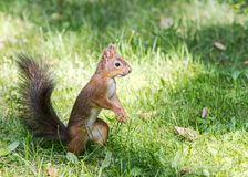 Ardilla salvaje del parque que se coloca en hierba y que busca para la comida Imágenes de archivo libres de regalías
