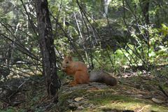 Ardilla salvaje en el bosque Imagen de archivo libre de regalías