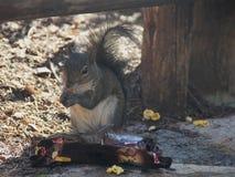 Ardilla salvaje que come la comida caída Fotografía de archivo