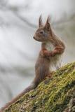 Ardilla (Sciurus vulgaris), sentándose en un árbol de nuez con el musgo Imagen de archivo libre de regalías