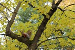 Ardilla siberiana que se sienta en el árbol Foto de archivo