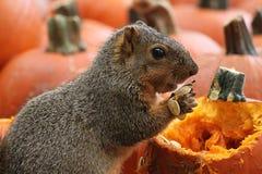 Ardilla Snacking de Brown en los gérmenes de calabaza Imagen de archivo