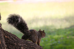 Ardilla. A squirrel having fun in the forest royalty free stock photos