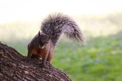 Ardilla. A squirrel looking for some food and entertainment stock photography