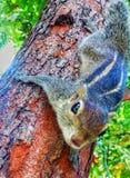 Ardilla srilanquesa en el árbol Foto de archivo