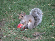 Ardilla y Apple rojo Imagen de archivo libre de regalías