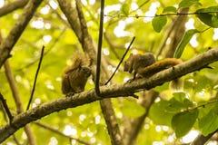 Ardillas de la datación en una rama de árbol Imagenes de archivo