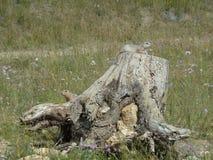 Ardillas de tierra curiosas en un tocón Foto de archivo libre de regalías