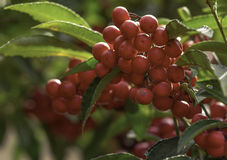 Ardisia crenata berries stock image