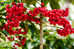 Ardisia crenata berries. Ardisia crenata myrsinaceae plant or call hen's eyes with small red berries on its tree royalty free stock image