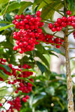 Ardisia crenata berries. Ardisia crenata myrsinaceae plant or call hen's eyes with small red berries on its tree royalty free stock photography