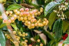 Ardisia crenata berries. Ardisia crenata myrsinaceae plant or call hen's eyes with small yellow berries on its tree royalty free stock photo