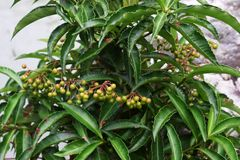 Ardisia crenata. The fruit of Ardisia crenata becomes ripe and vivid red color in winter royalty free stock photography