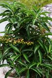 Ardisia crenata. The fruit of Ardisia crenata becomes ripe and vivid red color in winter stock photo