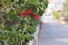 Ardisia crenata fruits. Ardisia crenata / Coralberry / Spiceberry / Coral bush royalty free stock images