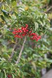 Ardisia crenata fruits. Ardisia crenata / Coralberry / Spiceberry / Coral bush royalty free stock image