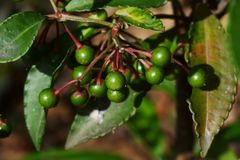 Ardisia crenata. The fruits of ardisia crenata which is not ripe yet stock photography