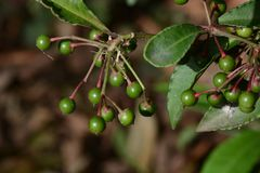 Ardisia crenata. The fruits of ardisia crenata which is not ripe yet stock photo
