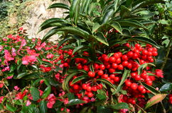 Ardisia Crenata Myrsinaceae Στοκ Εικόνες