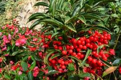 Ardisia Crenata Myrsinaceae Στοκ Φωτογραφία