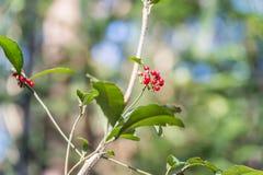 Ardisia crenata(Myrsinaceae) royalty free stock images