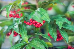 Ardisia Crenata Myrsinaceae plants small and bright red frui royalty free stock photos