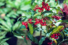 Ardisia Crenata Myrsinaceae plants small and bright red frui. T outdoor royalty free stock photos