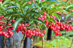 Ardisia Crenata ( Myrsinaceae ). Plants small and bright red fruit stock photo