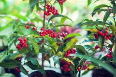 Ardisia Crenata Myrsinaceae plants small and bright red frui. T royalty free stock photo