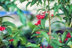 Ardisia Crenata Myrsinaceae plants small and bright red frui. T royalty free stock photos