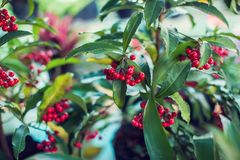 Ardisia Crenata Myrsinaceae plants small and bright red frui. T royalty free stock photography